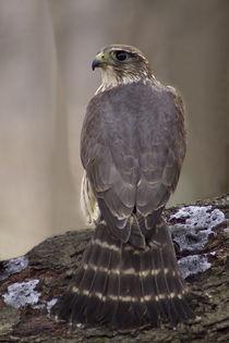 Peregrine Falcon_102v2 by Dennis Tarnay Jr