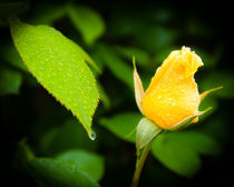 Yellow Rose and raindrops by Chris Bidleman