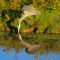 Great-blue-heron-dipping-reflection