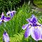 Japanese-iris-in-garden