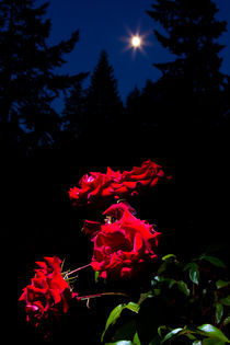 Roses-by-moonlight