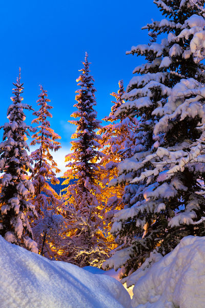 Snow-tree-glow-at-dawn
