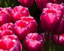 Violet Tulips in the Sun von Chris Bidleman