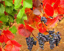 Wine Grapes in Autumn by Chris Bidleman