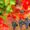 Wine-grapes-in-fall