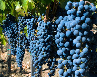 Grape-clusters-in-a-row