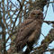 Great-horned-owl-juvenile