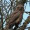 Great-horned-owl-juvenile