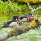 Pair-of-wood-ducks-standing-on-log