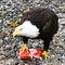 Sitka-bald-eagle