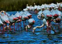 bird flamingo drinking