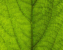 Leaf Close-up 063