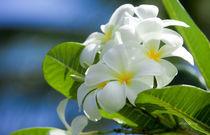 white plumerias von Sean Davey