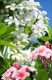 Hawaiian plumerias von Sean Davey