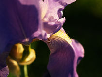 Violet flower close-up by Darko Dukaric