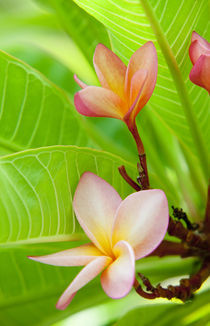 pink plumeria flowers by Sean Davey