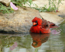 Primrose Waters (Northern Cardinal) von Howard Cheek
