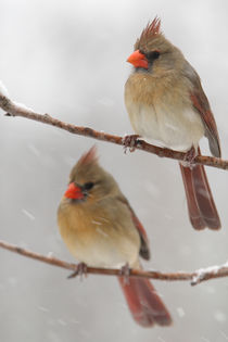 Double Vision (Northern Cardinals) by Howard Cheek