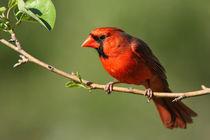 Pear Tree Cardinal in Spring by Howard Cheek