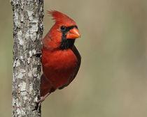Northern Cardinal (Cardinalis cardinalis) von Howard Cheek