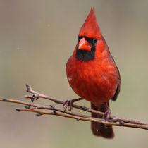 Redbird Snowfall (Northern Cardinal) by Howard Cheek