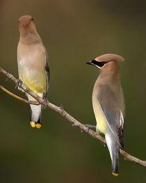 A Good Listener? (Cedar Waxwing) by Howard Cheek