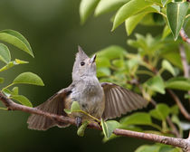Good Vibrations (Black-crested Titmouse) by Howard Cheek