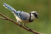 Loud Mouth (Blue Jay) by Howard Cheek