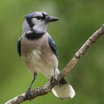 Smart Blue (Blue Jay) by Howard Cheek