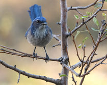 Western-or-woodhouses-scrub-jay-aphelocoma-californica