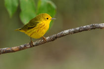 Morning Yellow (Yellow Warbler In Spring) by Howard Cheek