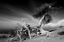 El Sabinar, Zedernwacholder auf El Hierro 1 von Frank Rother