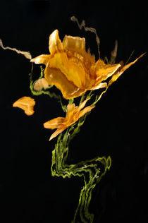 Lily Distortion 3140 von Thom Gourley