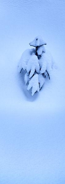 Schneebedeckte Fichte von Intensivelight Panorama-Edition