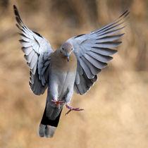 Angelic Dove (White-winged) von Howard Cheek