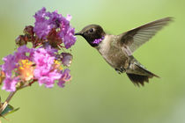 Black-chinned Hummingbird (male) von Howard Cheek