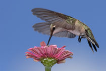 Spider Below (Black-chinned Hummingbird) by Howard Cheek