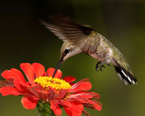 Black-chinned Hummingbird (Archilochus alexandri) von Howard Cheek