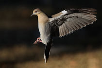 White-winged Dove at First Light by Howard Cheek