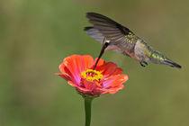 Heartlight (Hummingbird) von Howard Cheek