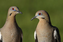 White-winged Dove Pair by Howard Cheek