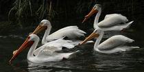 American White Pelicans by Howard Cheek