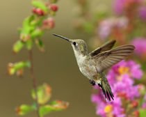 Summer Hummer (Archilochus alexandri)  von Howard Cheek