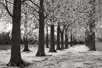 Poplar Trees by Geoff du Feu