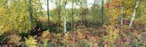 Herbstlicher Birkenwald by Intensivelight Panorama-Edition