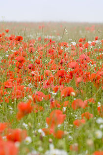 Poppy Field in Mist by Geoff du Feu