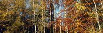 Leuchtende Herbstbäume by Intensivelight Panorama-Edition
