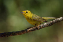 Wilson's Warbler (Wilsonia pusilla) by Howard Cheek