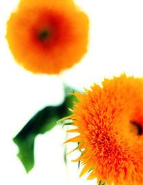 Sonnenblumen von Thilo Härdtlein