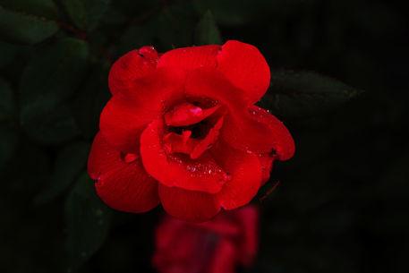 Crimson-lady-copy